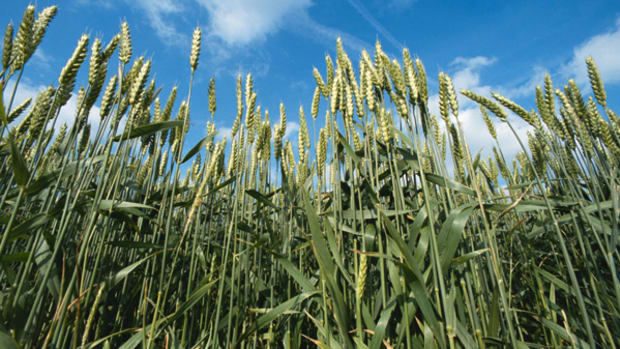 Wheat Futures Rally, but Uncertainty in Ukraine Makes Prices Volatile
