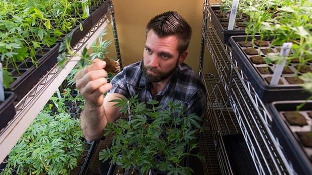 Marijuana Jobs Higher Than Estimated