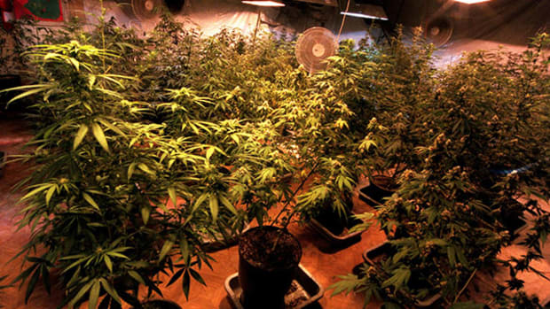 Advanced Cannabis Investors Eye Early Harvest