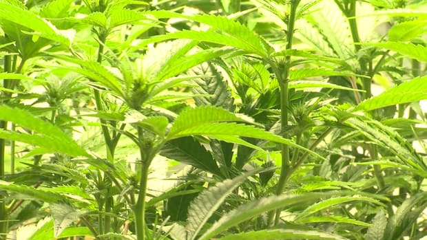 Marijuana Stocks Need to Grow Their Balance Sheets