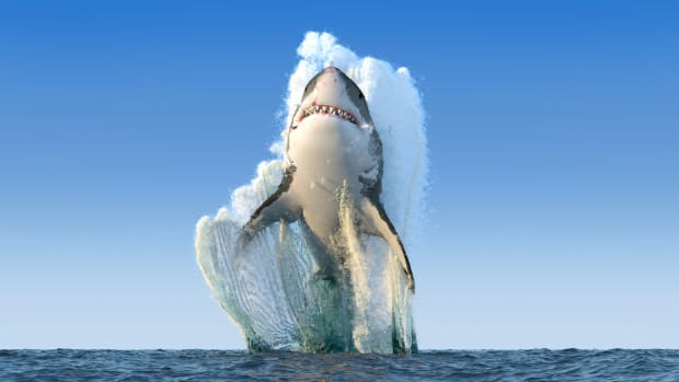 shark sh