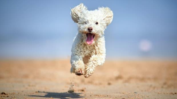 Poodle (Miniature) sh