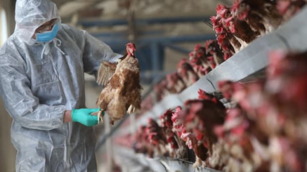 China Lifts Import Ban On Live Poultry From US As Bird Flu Threatens Local Farms