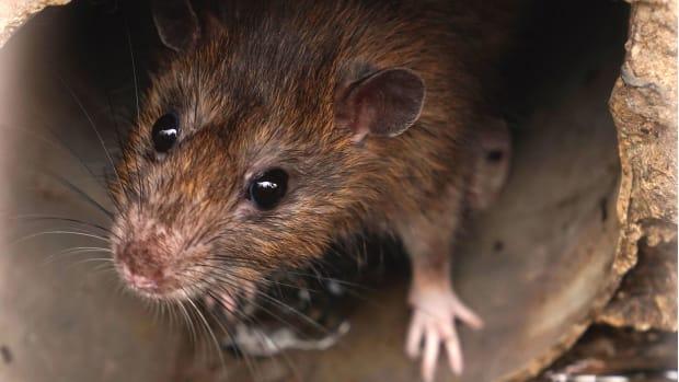9 lassa fever rat sh