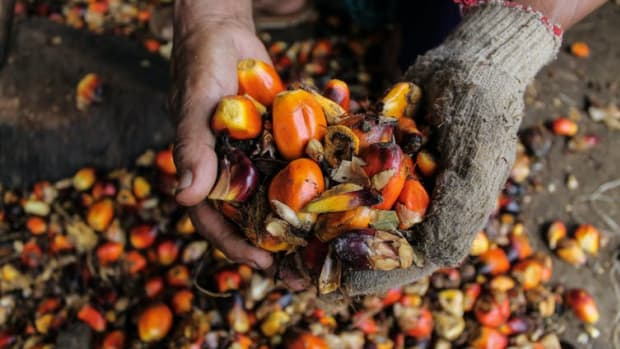 Oil palm fruit in North Aceh, Indonesia.