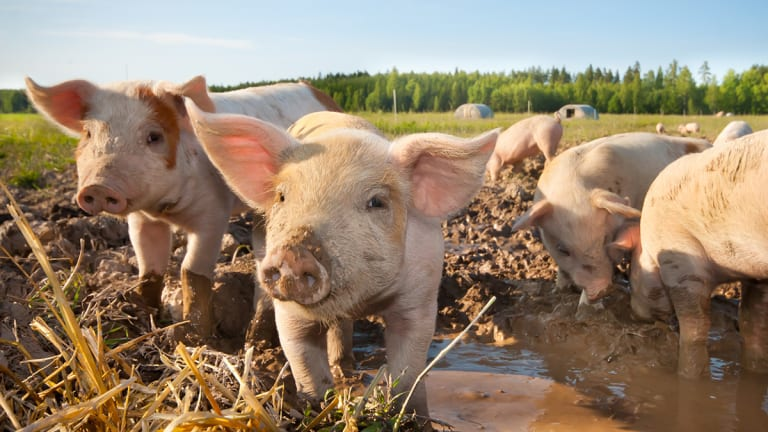 How Hog Markets Are Coping With the Threat of African Swine Fever