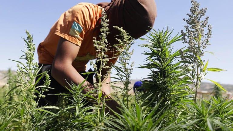 Some Cannabis Stocks Rise as DEA Rethinks CBD Stance