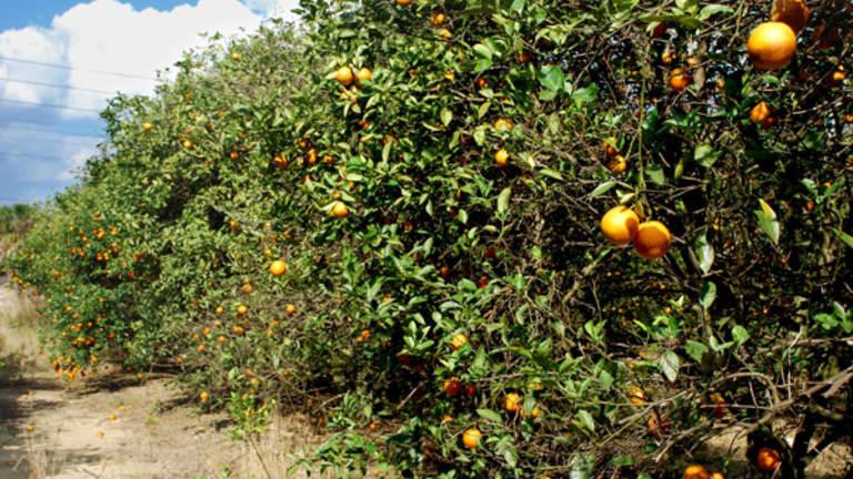 Don't Panic, Orange Juice Won't Be Squeezed