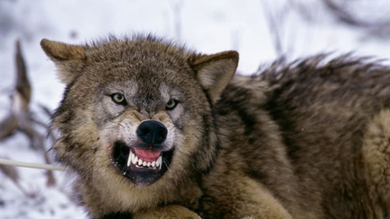 Government Spends $100M Preying on Business In Pursuit of Wolves