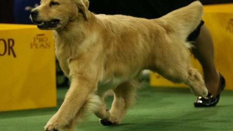 Westminster Dog Show 2017 — And the Winner Is a German Shepherd