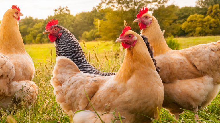 Sanderson Farms Shares Wing Higher on Poultry Producer's Earnings Increase