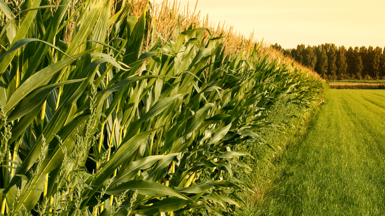 How the Rain-Soaked Midwest Will Crush the Corn Crop and Send Prices Jumping