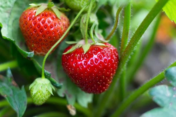 Strawberries are the EWG's worst offender. Strawberries tested by the USDA in 2014 and 2015 contained an average of 7.7 different pesticides per sample, compared to 2.3 pesticides per sample for all other produce, according to the newest EWG analysis.Strawberry growers use poisonous gases (some developed for chemical warfare) to sterilize fields before planting, the EWG reports. They are linked to cancer, reproductive and developmental damage, hormone disruption and neurological problems.