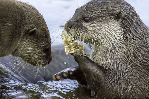 1. Food Wrappers (candy, chips, etc.)Total count: 350,818Percent of all plastics found: 18.6%Type of plastics: Several typesAnimals like these otters often mistake plastic trash for food.Photo: Shutterstock