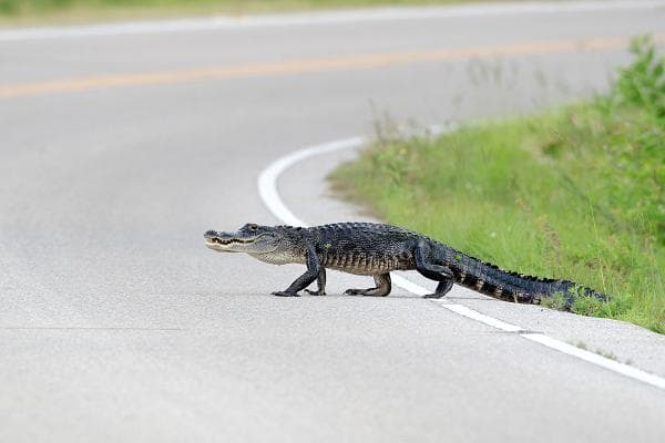 AlligatorDo peopleeat it? Yes. It tastes like chicken, according to Food & Wine magazine. Florida allows motorists to possess deer, fox, raccoon, opossum, and squirrels that have been killed by a vehicle collision, but if you hit an alligator in that state, you should report it to the state fish and wildlife agency.Photo: Shutterstock