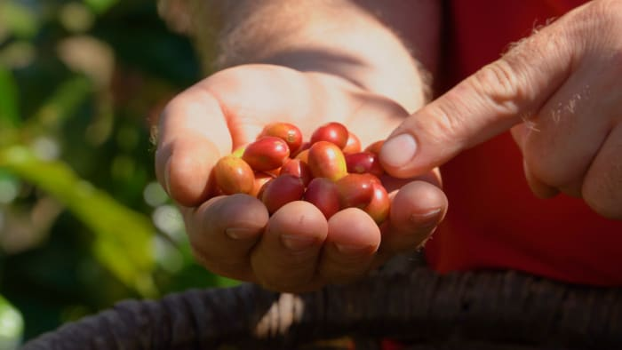 Freshly picked coffee cherries at Don Juan Coffee Farm, Costa Rica