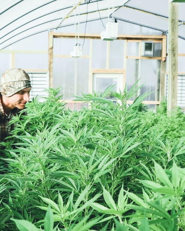 cannabis sh