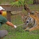 Big Cat RescueBig Cat Rescue is an educational sanctuary devoted to rescuing and providing a permanent home for exotic (wild, not domestic) cats who have been abused, abandoned, bred to be pets, retired from performing acts, or saved from being slaughtered for fur coats. The sanctuary houses the most diverse population of exotic cats in the world. Above, a senior keeper feeds a tiger at Big Cat Rescue.Photo:  Joseph M. Arseneau / Shutterstock