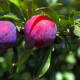 See a list of the 44 pesticide residues found by the USDA on plums.