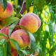 More than 98% of peaches tested positive for residue of at least one pesticide.