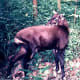 SaolaPseudoryx nghetinhensisStatus: Critically EndangeredPopulation: UnknownOften called the Asian unicorn, little is known about the rarely seen saola. None exist in captivity. They are found only in the Annamite Mountains of Vietnam and Laos. Scientists have documented saola in the wild on only four occasions.Photo: Silviculture at Vietnamese Wikipedia