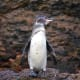 Galapagos PenguinSpheniscus mendiculusStatus: EndangeredPopulation: fewer than 2,000This is the only penguin species found north of the equator and in the Galapagos. Their population is threatened by pollution, bycatch and climate change.Photo: Shutterstock