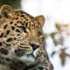 Amur LeopardPanthera pardus orientalisStatus: Critically EndangeredPopulation: More than 84A rare subspecies of leopard of the Russian Far East, the Amur leopard can run at speeds of up to 37 mph. It is frequently killed by poachers for its beautiful, spotted fur, according to WWF.Photo: Shutterstock