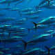 Bluefin TunaThunnus sppStatus: EndangeredPopulation: n/aPopulations of Bluefin tuna, a highly sought-after delicacy for sushi and sashimi, are harmed by overfishing and illegal fishing. According to the Center for Biological Diversity, the bluefin has been overfished to less than 3% of its historic populationPhoto: Shutterstock