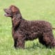 Irish Water Spaniel45-68 poundsOften mistaken for poodles, the Irish water spaniel is the largest and one of the oldest of spaniels. It is one of the rarer breeds in the American Kennel Club. They are champion swimmers, alert, inquisitive, hardworking, brave anda bit of a clown.Photo: Shutterstock