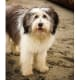 Polish Lowland Sheepdogs30-50 poundsThis shaggy herdingbreed was almost driven to extinction in World War II, but todaythese confident, clever dogs are popular as companions for apartment dwellers in their native Poland.Photo: Shutterstock