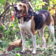 American Foxhound60-70 poundsThese good-natured butindependent dogs get along with kids, other dogs, and cats, but without lots of exercise they can become depressed and destructive as house pets. They also bay loudly, whichmight be unpopular with the neighbors. They are cousins of the English foxhound.Photo: Wikipedia