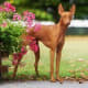 Cirneco dell'Etna17-26 poundsThe independent Sicilian sighthound has a sweet nature and is incredibly swift. These beautiful dogs with theirpretty name are mild, low-maintenance companions, cherished for their loyal and gentle nature.Photo: Shutterstock
