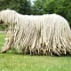 """Komondor80-100 pounds or moreThis large Hungarian flock guardian is a head-turner with its profuse white dreadlocks from head to tail. Often called """"mop dogs"""" for obvious reasons, and somewhat resembling a parade float, this big guy is a fairly common breed in Hungary today. During World War II, many Komondorok were killed by German and Russian invaders, because it was the only way to capture a farm or house that it guarded.Photo: Shutterstock"""