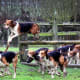 English Foxhound60-75 poundsThough these dogs are social and gentle with children and other animals, they are rarely seen as house pets because their relentless pursuit of, well, pursuit. They are pack hounds with great stamina, bred for fox hunts.Photo: Mick Atkins / Shutterstock