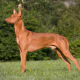 PharaohHound45-55 poundsThe beautiful, elegant Pharaoh hound was traditionally used for hunting rabbits in the Maltese Islands. When not sprinting after small game overrough terrain, they are friendly, affectionate dogs that are comfortable in the home. The Pharaoh hound is the national dog of Malta.Photo: Shutterstock