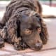 American Water Spaniel25-45 poundsThe American water spaniel was developed in Wisconsin during the 19th century from a number of other breeds, including the Irish and English water spaniels. They are gun dogs with a luscious brown coatandhavethe working traits of both spaniels and retrievers.Photo: Shutterstock
