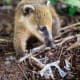 22. ArgentinaPlastic Waste Generation Per Year: 2.75 million tonsAbove, a South American coati picks at a scrap of plastic wrap.Photo: Shutterstock