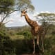 """Close to Nairobi are the Karen Blixen Museum (she wrote """"Out of Africa"""") the Giraffe Centre, above, and Nairobi National Park, a good place to see wildlife.Photo: Shutterstock"""