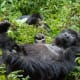Gorilla Tracking/TrekkingThe Bwindi Forest National Park in Uganda and Rwanda's Volcanoes National Park are the top choices for seeing gorillas, according to Africa.com. It's called gorilla trekking because you'll have to hike quite a few hours with a guide into the forest to find these shy, mountain-dwelling primates.Photo: Shutterstock