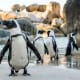 4. South AfricaAfrican penguins hang out on the beach in Cape Town.Photo: Shutterstock