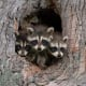 """RaccoonThe first edition of """"The Joy of Cooking,"""" published in 1931, reportedly had a raccoon recipe, according to Grow Network, which also says most people shun the meat because raccoons eat trash, are sometimes prone to rabies, and of most concern can carry a roundworm that you don't want.Photo: Shutterstock"""