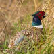 PheasantYep, totally edible. Pheasant is considered a game bird. Pay attention to state hunting, licensing and other laws.Photo: Shutterstock