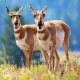 AntelopeIn a Field & Stream forum, posters said antelope is good, especially in chili. It needs to be quickly skinned and refrigerated.Photo: Shutterstock