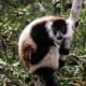 Rainforests of the Atsinanana, MadagascarThese six national parks along the eastern part of Madagascar are critically important for maintaining ongoing ecological processes necessary for the survival of Madagascar's unique biodiversity. Many species are rare and threatened, especially the primates and lemurs. Illegal logging and hunting of endangered lemurs (pictured) are the main threats.Photo: Shutterstock