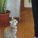 """Savannah cats look like a cross between your average house cat and a leopard — and that's actually kind of what they are (actually crossed with an African Serval). They run from $500 to more than $10,000 each, but that isn't even the most expensive pet cat. There's a company claiming to have bred a new, most rare and exotic domestic cat called an Ashera and the price is $22,000 (they are also marketed as """"hypoallergenic""""). Savannah cat breeders call this one a fraud, and the controversy continues, but buyers are out there. Photo Credit: miheco"""