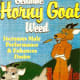 """The claim: Horny goat weed producers promise that the herbal supplement can promote erectile function, ease fatigue, """"restore sexual fire"""" and treat symptoms of menopause, according to Discovery Health. One label even says the supplement, also known as epimedium, will """"conjure up the passionate nature in men to provide you and your mate with a memorable night of romance,"""" according to the NIH. What critics say: There's little information available about the safety and side effects from horny goat weed, but in high doses, it's been known to cause breathing problems, according to the Georgia Department of Community Health. Photo Credit: cote"""