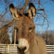 Those looking to adopt a donkey can do so at the Colorado-based LongHopes Donkey Shelter, which gives homes to unwanted donkeys, preventing the animals from being slaughtered at local sales barns. You can adopt a donkey through this charity for any price between $150 and $350, depending on the animal's age, health and training. All applicants are screened to make sure that the animals will go to proper homes. According to the website, the shelter has rescued almost 460 donkeys and found homes for more than 400 since its launch in 2000. Photo Credit: pmarkham