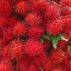 Price per pound: $11 to $12 Amount per pound: 6 to 10 Introduced to the U.S. about eight years ago, rambutans are closely related to lychees with a similar sweet – yet slightly less acidic – flavor. With a hairy red exterior, they're a bit unusual looking, but simply peel away the skin and remove the black seed to discover the juicy flesh. (Be sure to remove the skin just before serving due to high perishability.) Although rambutans' peak season is from May until October, you can find them sold sporadically throughout the year, says Schueller. Photo Credit: 4Neus
