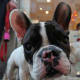 """Like the basset hound, the French bulldog is one of the few (relatively) small breeds on this list. As such, its health problems stem not from its size but from the fact that it's a brachycephalic breed – that is, it has a short, pushed-in face rather than a long snout. """"Their breathing structures all crowd together,"""" explains Benson. """"When you see the pugs snorting when they breathe, it's the soft tissue resonating."""" This skull structure and the accompanying breathing problems make the French bulldog more prone to pneumonia and other respiratory malfunctions. And if the dog is born with particular breathing problems, corrective surgeries may be in order to prevent problems later in life, which can total as much $5,000. Photo Credit: Bruno Cordioli"""