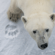 """Global warming won't just bring physical changes. It also threatens wildlife and biodiversity, such as Canada's famous polar bears, which will increasingly struggle to find food. """"It was an unusually good year for photographing polar bears,"""" Arndt said, """"because it was an unusually bad year for the polar bears. Polar bears congregate in Churchill, Manitoba because that's where the sea ice freezes first.""""""""So the polar bears go there and they hang out waiting for the sea ice to seal so they can go out on the ice to hunt seals, which is their primary food source,"""" he added. """"But last year the sea ice came in very late, so you had a bunch of polar bears sitting around, mothers with cubs, because they were not able to go out and feed.""""This is particularly unfortunate, because the polar bear population has actually bounced back in recent decades, thanks largely to Canada's crackdown on seal hunting. However if things continue as they are, the bears' resurgence may be short lived."""